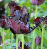 Tulp  Tulipa 'Black Parrot'