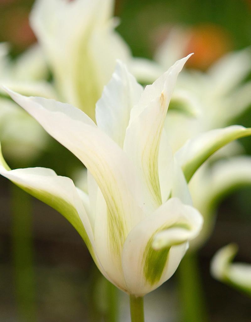 Tulp  Tulipa 'Green Star'