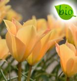 Tulp  Tulipa batalinii 'Bronze Charm', BIO