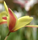 Tulp  Tulipa clusiana 'Cynthia'