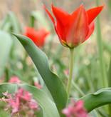 Tulp  Tulipa eichleri