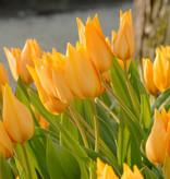 Tulp  Tulipa praestans 'Shogun'