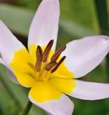 Tulp  Tulipa saxatilis, BIO