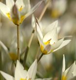 Tulp  Tulipa turkestanica