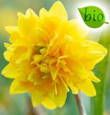 Narcis  Narcissus 'Tête Rosette', BIO