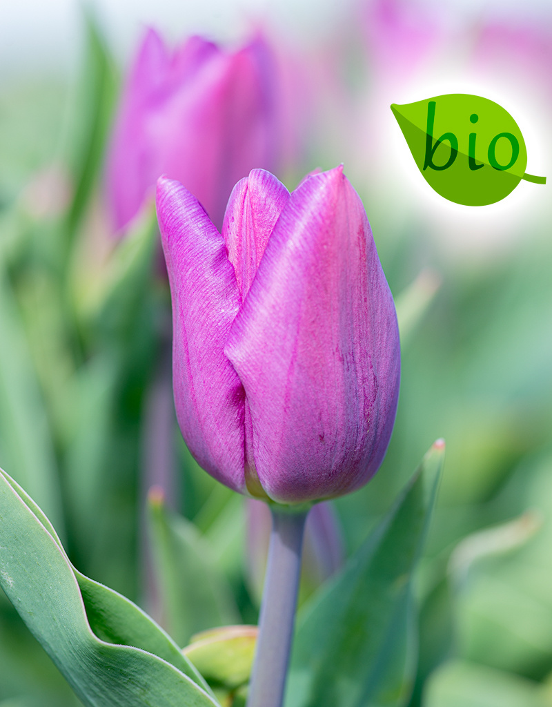 Tulp  Tulipa 'Purple Flag', BIO