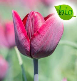 Tulp  Tulipa 'Ronaldo', BIO