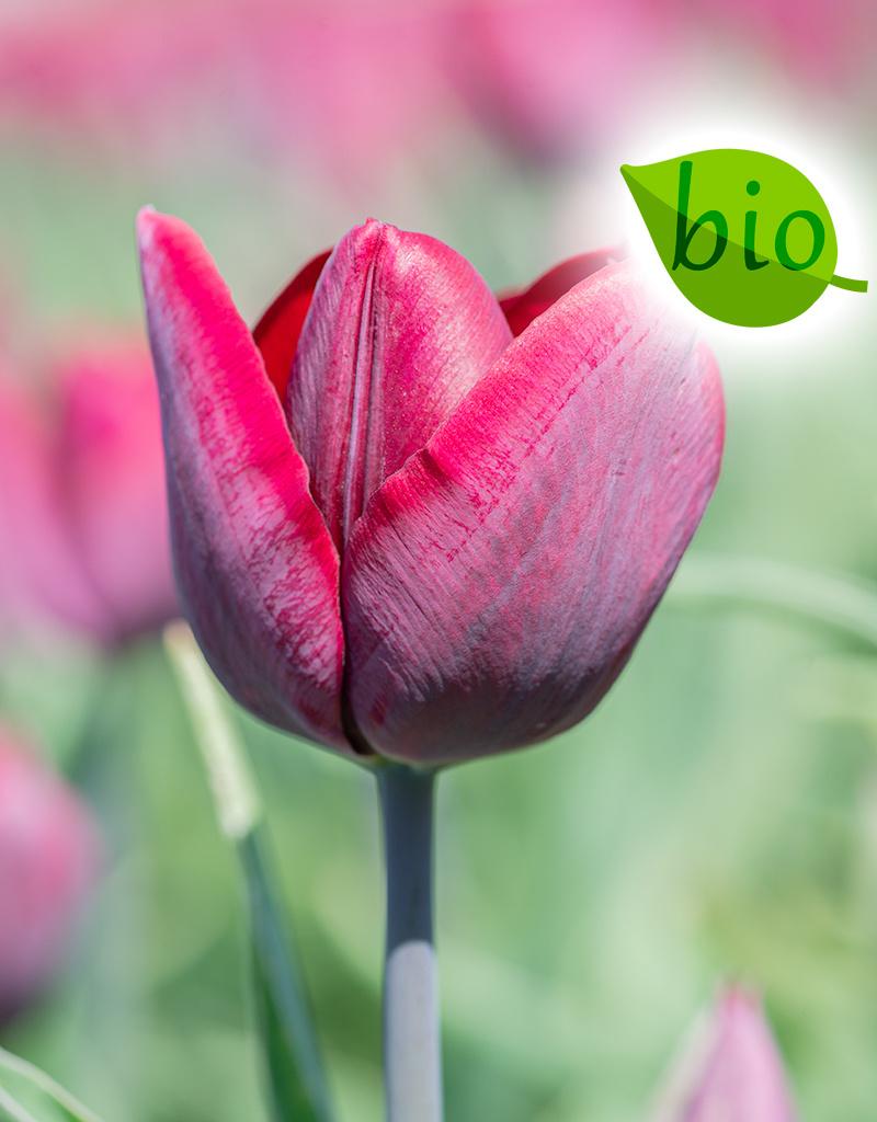 Tulp  Tulipa 'Ronaldo', BIO (Tulp)