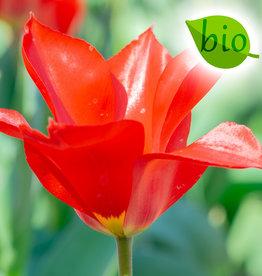 Tulp  Tulipa ingens, BIO - AANBIEDING