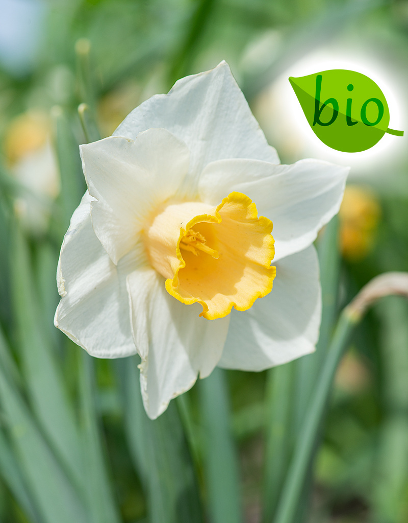 Narcis  Narcissus 'Salome', BIO