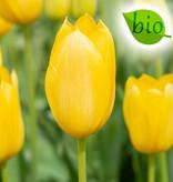 Tulp  Tulipa 'Muscadet', BIO