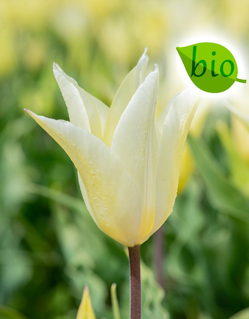 Tulp  Tulipa 'Sapporo', BIO