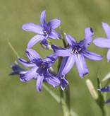 Blauwe sterlelie  Ixiolirion tataricum (Blauwe sterlelie)