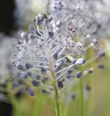 Hyacint (amethist)  Scilla litardierei (Amethist hyacint)
