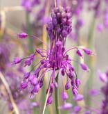 Look  Allium carinatum ssp. pulchellum (Berglook, of Geschubd look)