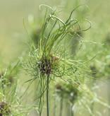 Look (kraai)  Allium vineale 'Hair' (Kraailook)