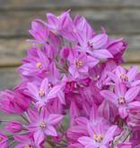 Look  Allium oreophilum (Roze knuffeltjes)