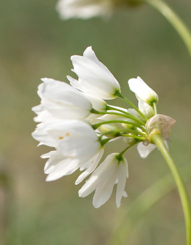 Look  Allium zebdanense (Bochtig look) - Stinzenplant