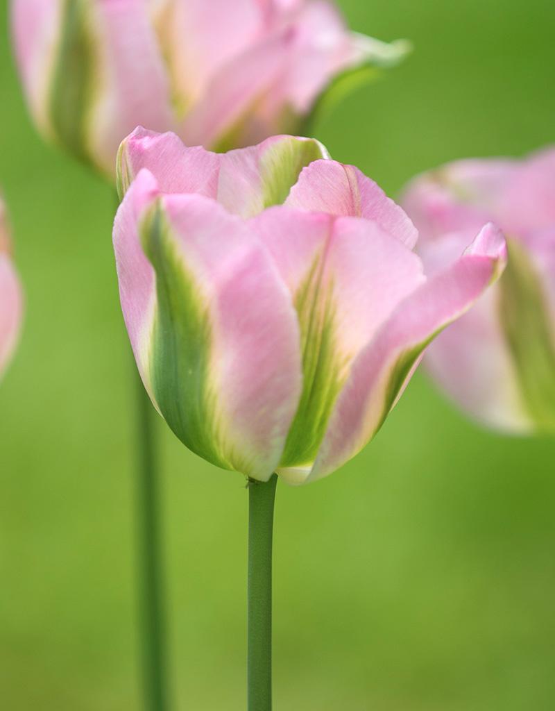 Tulp  Tulipa 'Groenland' (Tulp)