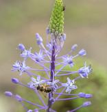 Pyreneeënsterhyacint  Scilla hyacinthoides 'Blue Arrow' (Pyreneeënsterhyacint)