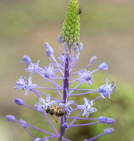 Pyreneeënsterhyacint  Scilla hyacinthoides 'Blue Arrow'