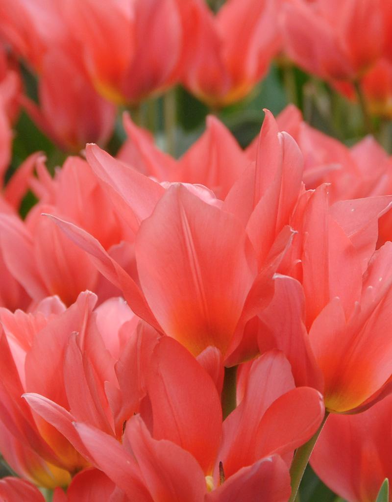 Tulp  Tulipa 'Toronto' (Tulp)