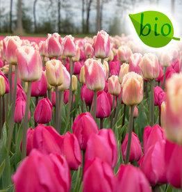 Mix  Mix: Tulipa 'Tineke van der Meer' & 'Siesta' - BIO