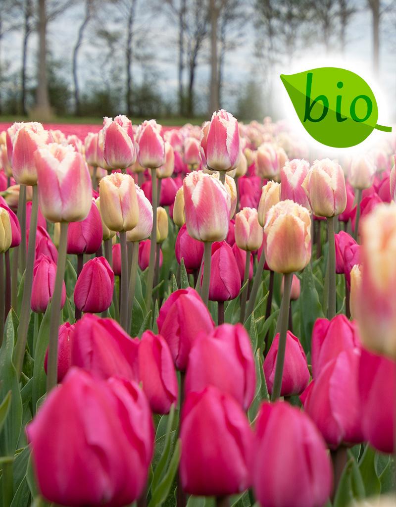Mix  Biologisch mengsel Tulipa 'Tineke van der Meer' & 'Siesta'