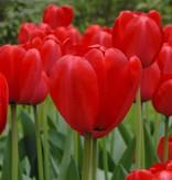 Tulp  Tulipa 'Red Impression', BIO - AANBIEDING