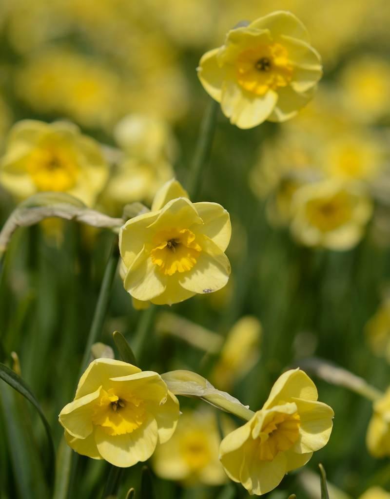 Narcis  Narcissus 'Sun Disc', BIO - AANBIEDING