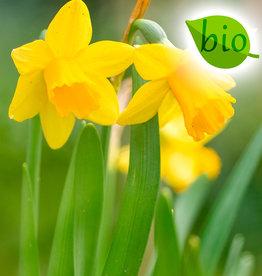 Narcis  Narcissus 'Tête-à-Tête', BIO - AANBIEDING