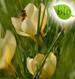 Krokus  Crocus chrysanthus 'Romance', BIO - AANBIEDING