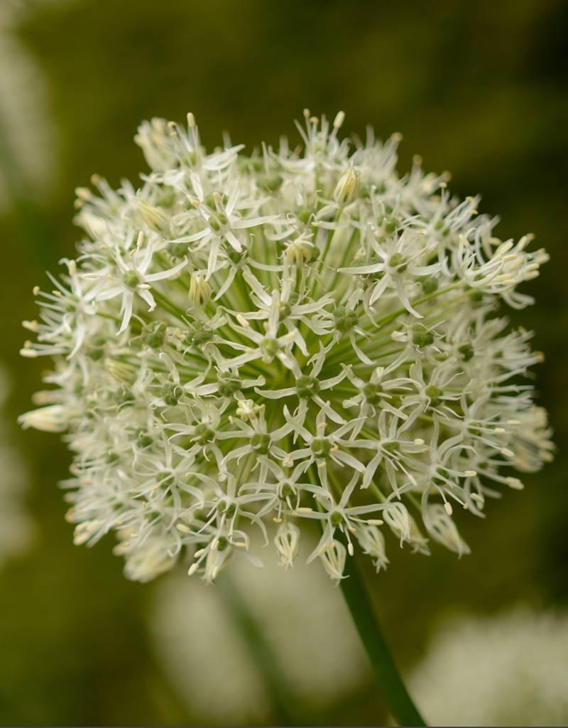Sierui  Allium 'Mount Everest' (Sierui) - AANBIEDING