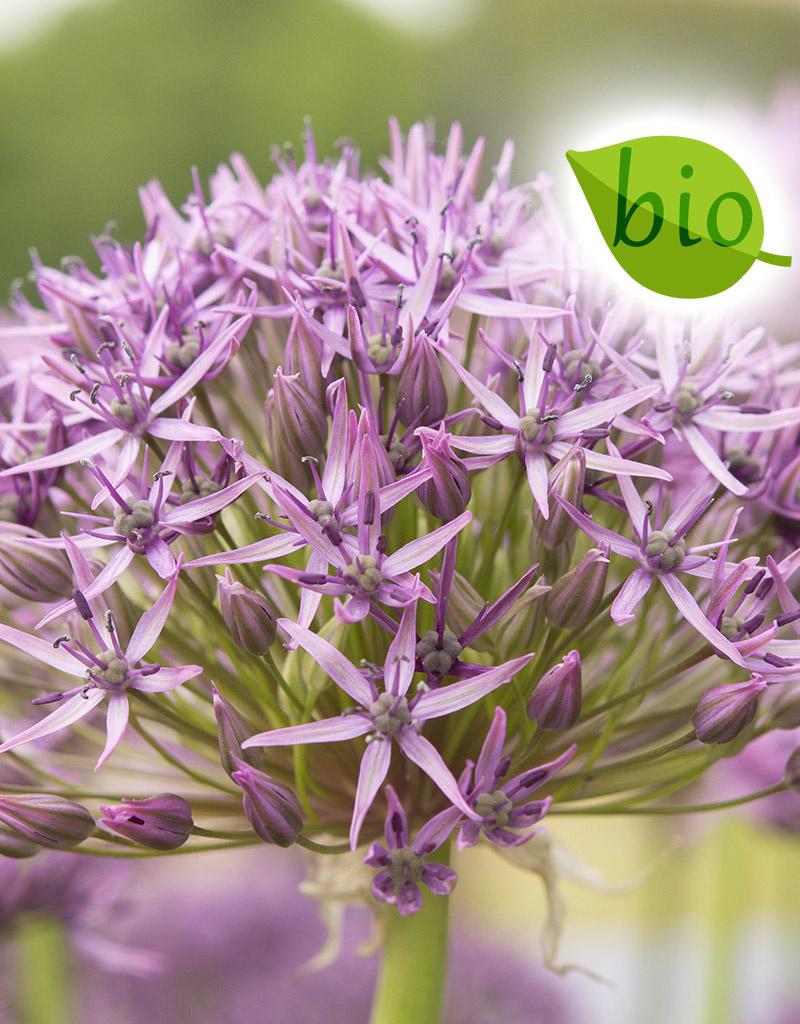 Sierui  Allium 'Violet Beauty', BIO (Sierui) - AANBIEDING