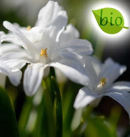 Sneeuwroem (grote)  Chionodoxa luciliae 'Alba' , BIO - AANBIEDING