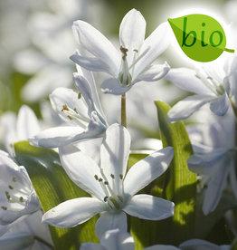 Sterhyacint (wit)  Scilla miczenkoana, BIO - AANBIEDING