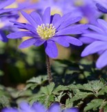 Anemoon (oosterse) Anemone blanda 'Blue Shades' (Oosterse anemoon) - 300 stuks voor 12m2