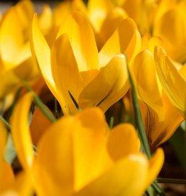 Krokus  Crocus geel