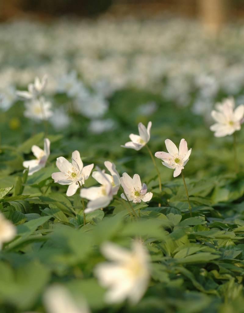Anemoon (bos)  Anemone nemorosa (Witte bosanemoon) - Stinzenplant