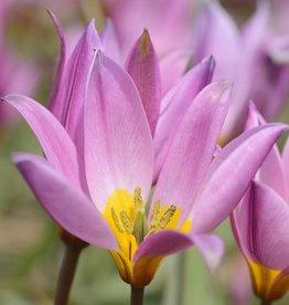 Tulp Tulipa humilis
