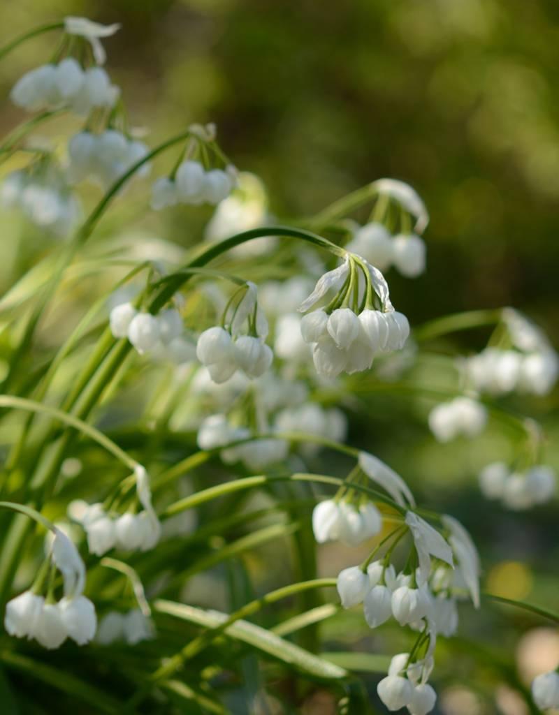 Look Allium paradoxum (Boslook)