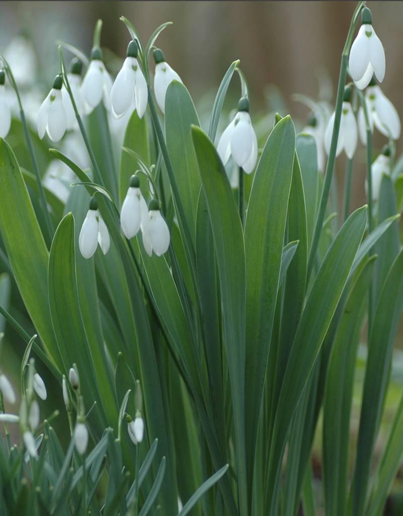Sneeuwklokje Galanthus elwesii (Groot sneeuwklokje) - Stinzenplant