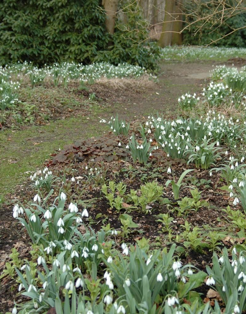 Sneeuwklokje Galanthus elwesii (Groot sneeuwklokje) kleine bolmaat - Stinzenplant
