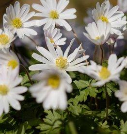 Anemoon (oosterse) Anemone blanda 'White Splendour', bulk