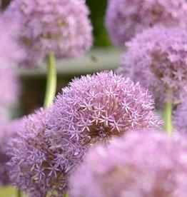 Sierui Allium 'Pinball Wizard'