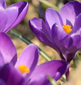 Krokus (bonte) Crocus vernus 'Flower Record'
