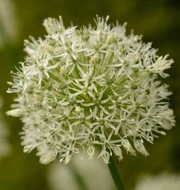 Sierui  Allium 'Mount Everest', BIO