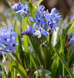 Sterhyacint (vroege) Scilla bifolia