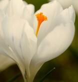 Krokus (bonte) Crocus vernus 'Jeanne d'Arc' (Bonte krokus) - Stinzenplant, BIO - 100 stuks voor 4m2