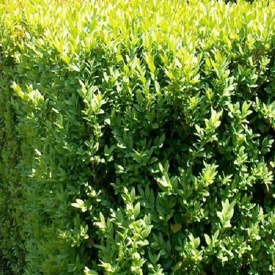 Haagplanten Buxus